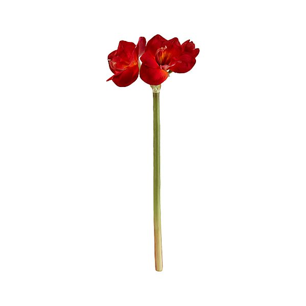 Red Amaryllis Stem