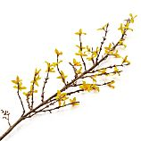 Forsythia Artificial Flower Stem
