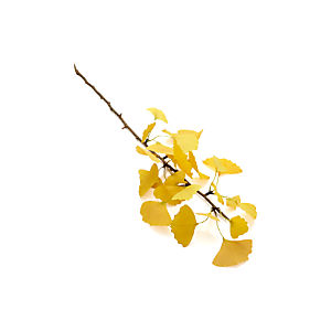 Gingko Stem