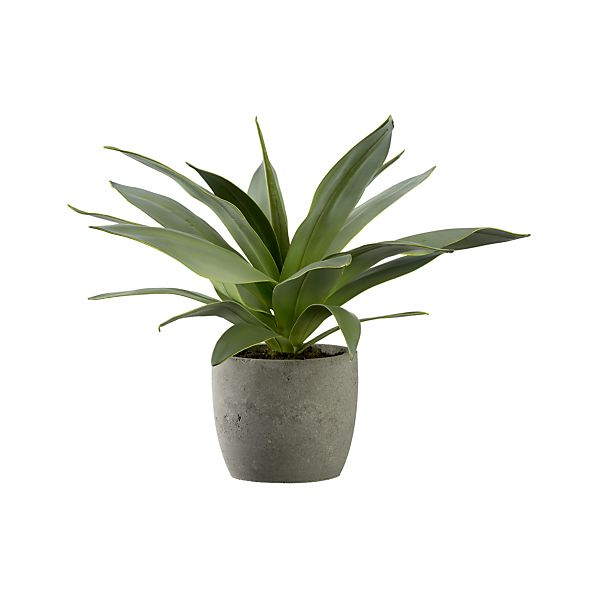 Large potted succulents - Large plants for indoors ...