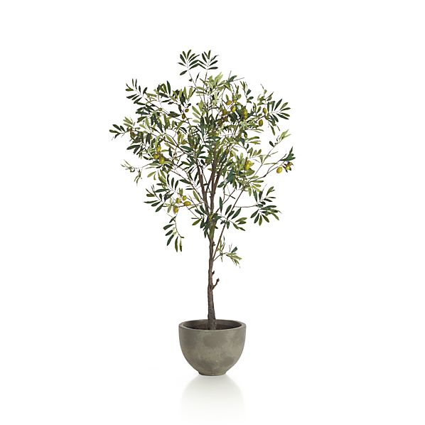 Potted Olive Tree