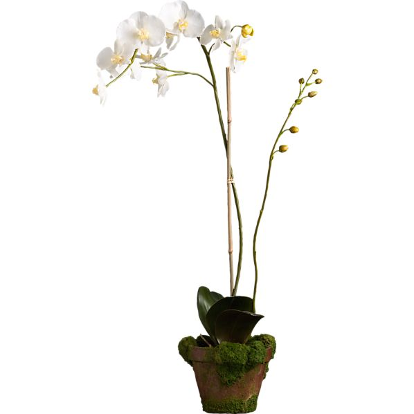 Potted Phaelanopsis White Orchid