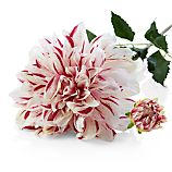 Pink and White Striped Dahlia Artificial Flower Stem