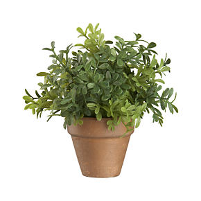 Mini Potted Boxwood Fern