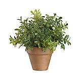 Mini Potted Boxwood