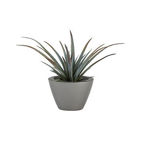 Small Potted Yucca