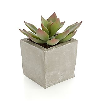 Potted Short Succulent